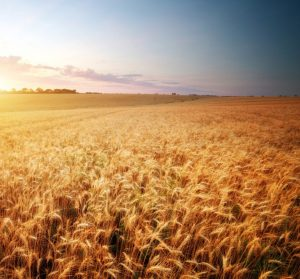 Meadow of wheat. © GIS – Fotolia